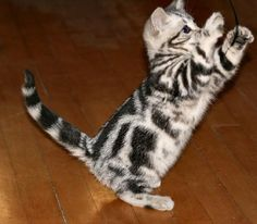 American Shorthair Cat For Sale
