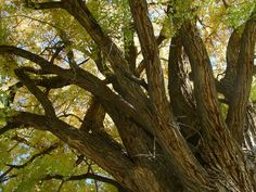 There is nothing quite like a mighty old cottonwood tree....shade and beauty in equal measures.
