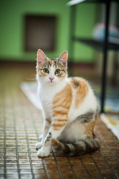 If you have orange cat. So You can understand your orange cat more. Cute Kittens, Ragdoll Kittens, Bengal Cats, Warrior Cats, Pretty Cats, Beautiful Cats, Pretty Kitty, Gato Calico, Calico Cats