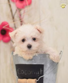 Coconut - Maltese Puppy for Sale in Greenwich, OH Teacup Maltese For Sale, Maltese Puppies For Sale, Maltese Dogs, Dogs And Puppies, Puppy Pictures, Puppy Pics, Cute Animals, Baby Animals, Coconut