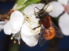 andrena fulva (tawny mining-bee) | foto: bernhard jacobi