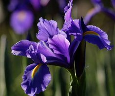 iris In the shade