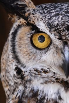 main focus of my owl tattoo will be these eyes. Owl Photos, Owl Pictures, Owl Eyes, Owl Always Love You, Great Horned Owl, Beautiful Owl, Owl Art, Cute Owl, Pretty Birds