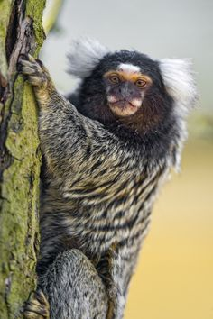 Marmoset | by Tambako the Jaguar on Flickr