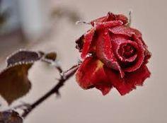 Výsledek obrázku pro odkvetlá růže