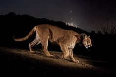 Picture of the cougar called P-22 near the Hollywood sign in California