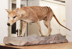 The last Tasmanian Tiger died in 1936.  The Natural History Museum has this stuffed tiger in its collection. They also have a Great Auk. Which has been extinct even longer, since 1844.
