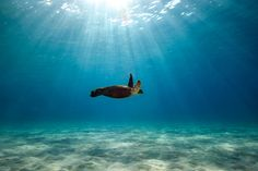 Green Sea Turtle - Kona, Hawaii lovely seas.