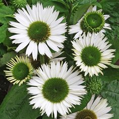 Echinacea purpurea Virgin. Discover the beautiful perennials and graceful grasses grown by Santa Rosa Gardens. Plants and garden accessories available for mail-order throughout the United States.