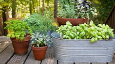To contrast with her terracotta pots, Clark transforms inexpensive galvanized-steel washtubs into planters. This long, low oval version, with drainage holes poked in the bottom, shows off her basil crop.
