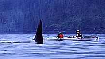 Kayak w/ orcas...One of my bucket list entries