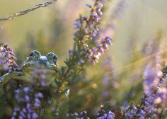 kiekeboe - Amfibieën en reptielen (kikker, hagedis, etc) - kikker