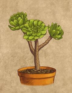How to grow and care for Aeonium Arboreum