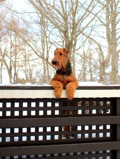 The beautiful and Majestic Airedale, one of the greatest dogs on earth