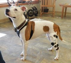 "Great news from the pet parents of one of our awesome patients: ""So happy to report that Greta, the little pit bull from Washington, DC you saw in October, is rocking her brace. She plays, walks at least 30 minutes every day limp free, can climb steps, and is basically a super happy dog. So grateful to hear about your clinic. We managed to avoid costly surgery, AND we have a great outcome. I share your information whenever I can."""