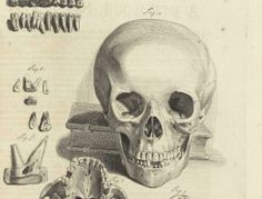 scan of a 17th-century anatomical drawing showing the human skull