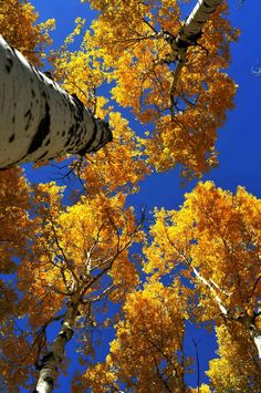 Fall Aspens, Flagstaff, AZ. Please visit my Facebook page at: www.facebook.com/jolly.ollie.77