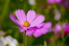 #cosmos #flower #flowers #ig_flowers #superb_flowers #FlowerStalking #wp_flower #floral_splash #igscflowers #秋桜