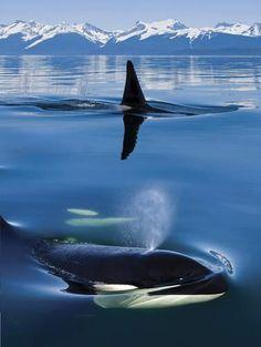 Orca whales in Lynn Canal, Alaska.