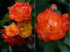 'Piñata' large-flower climbing rose