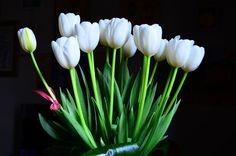 16 tulipani bianchi Ph. Isabel Zuniga