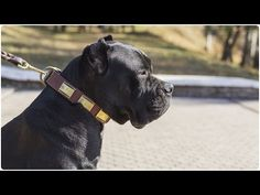 """Cane Corso looks gorgeous in """"Vogue Mania"""" Leather Dog Collar with Brass Plates Looking Gorgeous, Beautiful, Leather Dog Collars, Cane Corso, Leather Design, Best Dogs, Pitbulls, Vogue, Brass"""