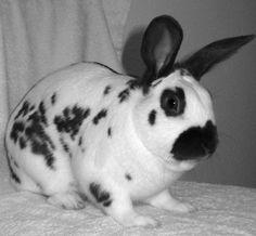 I am looking for a bunny like this English Spot Rabbit, Bunny, Animals, Rabbits, Cute Bunny, Animales, Animaux, Animal, Rabbit