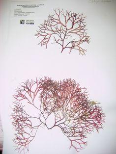 Une_planche_de_l_herbier_national_conserve_au_Museum_National_d_Histoire_Naturelle_282.jpg (750×1000)