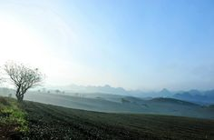 Lovely tea plantation at Moc Chau in early morning.