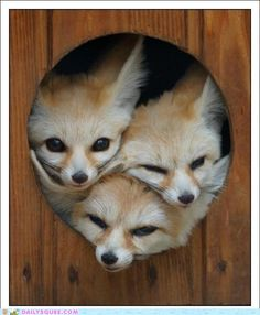 If you haven't guessed by now... I <3 Fennec foxes!