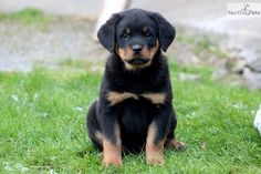 Darcy - Rottweiler Female