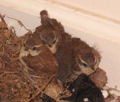 Carolina Wren fledglings.  Photo by Karen Ouimet.