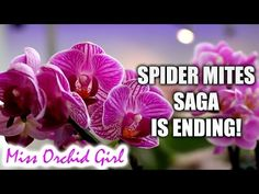 How I control spider mites in my Orchid collection - Simple! - YouTube
