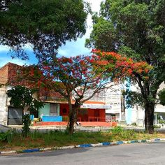 Avenida  Antonio Basílio, Lagoa Nova Delonix Regia, Nova, Mansions, House Styles, Plants, Decor, Water Pond, Decoration, Manor Houses