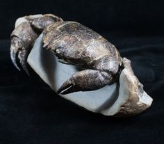 A large Miocene aged fossil crab (Tumidocarcinus giganteus) from New Zealand which has been painstakingly prepared from a hard concretion.  This 6 inch wide crab took more than 50 hours of work to prepare in a 3D manner.