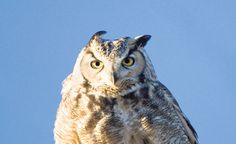 A great horned owl. Photo by Geraint Smith, geraintsmith.com