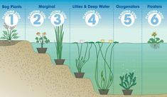 Pond Planting Depths: Bog Plants: above Water Level; Marginal: - Small Water lilies Medium Water Lilies Large Water lilies Deep Water Plants Oxygenating Plants Anchor bunches up to planted - Floating Plants Water surface Natural Swimming Ponds, Natural Pond, Outdoor Ponds, Ponds Backyard, Garden Ponds, Koi Ponds, Bog Garden, Outdoor Fountains, Piscina Do Hotel