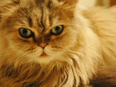 Persian cats have a gentle and sweet personality. With their long hair and cute flat faces they are a very attractive cat. Persians love people and don't require your constant attention unlike other breeds, the Siamese for example.