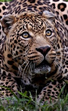 i love big cats Pretty Cats, Beautiful Cats, Animals Beautiful, Big Cats, Cool Cats, Cats And Kittens, Chat Lion, Animals And Pets, Cute Animals