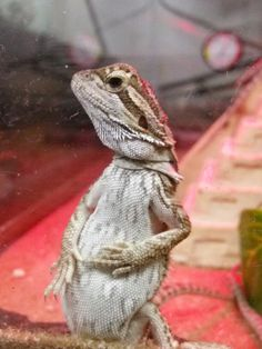 Bearded Dragon cute pose
