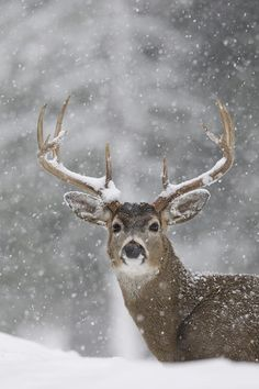 White Tailed Deer Buck in Snow Storm, western Montana; photo by Donald M. Jones I want to paint a deer with ornaments hanging from his antlers for christmas Nature Animals, Animals And Pets, Cute Animals, Animals In Snow, Wild Animals, Snow Photography, Animal Photography, Christmas Photography, Maternity Photography