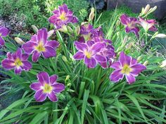 Clumps - Daylily Forum - GardenWeb