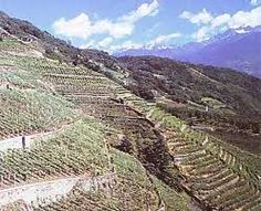 Valtellina wineyard