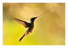 Sword-billed hummingbird. does it get any cooler?