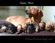 Funny Dachshund Pictures with Captions | admiration for mum - A Place to Love Dogs