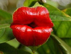 """The South American flower Psychotria Elata aka """"Hooker Lips"""".  Stones Logo Now Flower? This  Psychotria Elata looks a lot like Mick Jagger's lips or the Stones logo.  You know you've been around 50 years ….when!"""