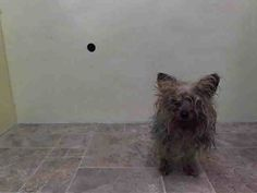 Manhattan Center   POTION - A0996162  *** IN FOSTER CARE THROUGH NYC ACC ***  MALE, BROWN / GRAY, YORKSHIRE TERR MIX, 5 yrs STRAY - STRAY WAIT, NO HOLD Reason STRAY  Intake condition INJ MINOR Intake Date 04/09/2014, From NY 10029, DueOut Date 04/12/2014, https://www.facebook.com/photo.php?fbid=784716784874536&set=a.617938651552351.1073741868.152876678058553&type=3&theater