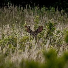 Getting checked out by the locals in Sachuest Point National Wildlife Refuge… Beautiful Words, Beautiful Pictures, All Gods Creatures, Woodland Creatures, Cabin Fever, Wild Life, Rhode Island, Wildlife Photography, Antlers