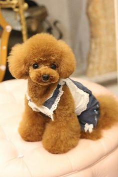Japanese cut on Toy poodle Talk about cute Your thoughts? Japanese cut on Toy poodle Talk about cute Your thoughts? Dog Grooming Styles, Poodle Grooming, Pet Grooming, Poodle Cuts, Poodle Mix, Poodle Puppies, Cute Puppies, Cute Dogs, Dogs And Puppies