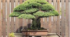 El bonsái que sobrevivió a Hirosima - Verdebonsai